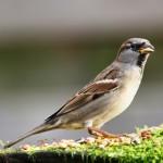 Eén van de bekendste tuinvogels